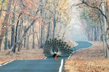 Indian Peacock: Its show time